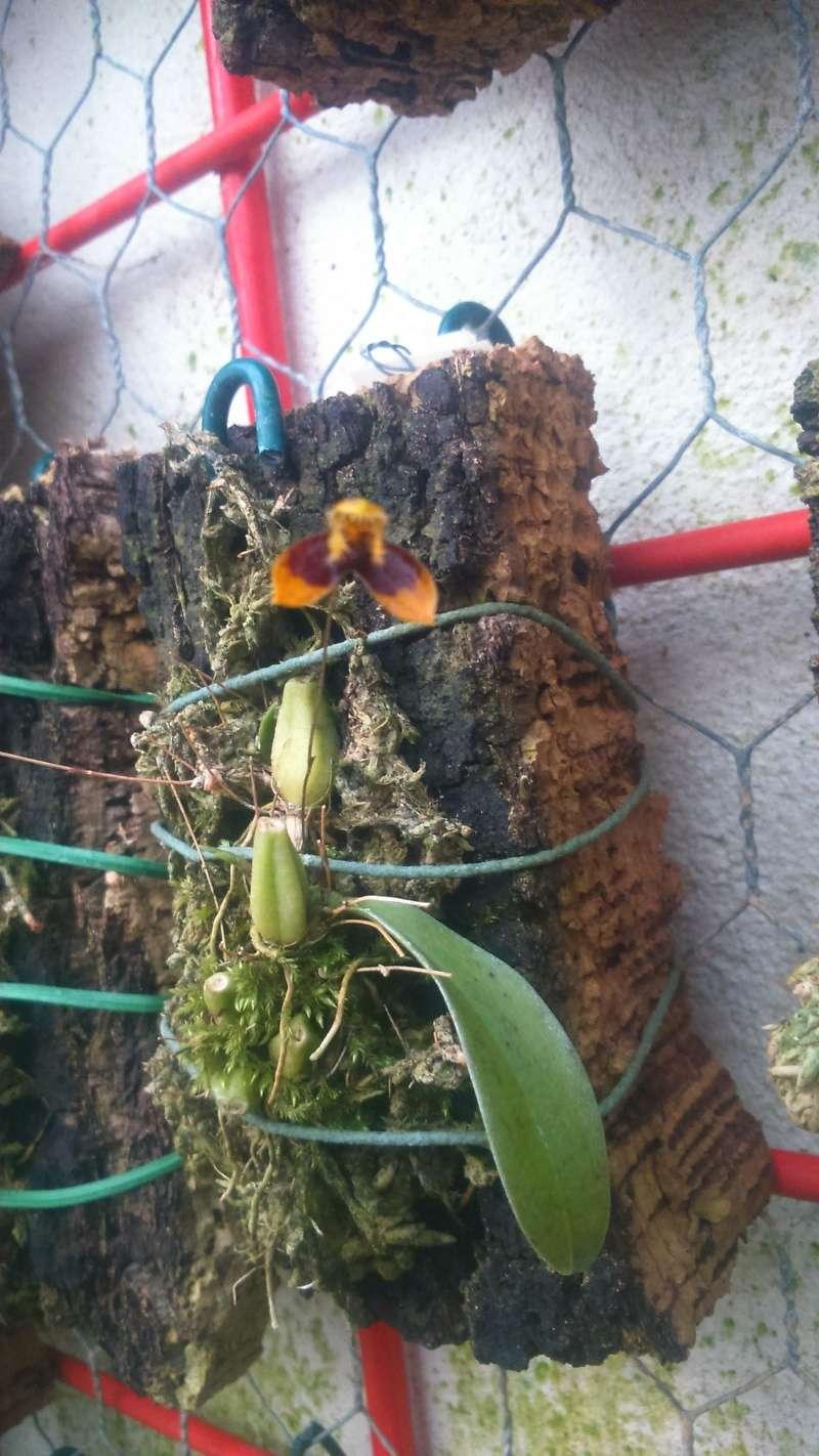 Bulbophyllum catenulatum Dsc_0619