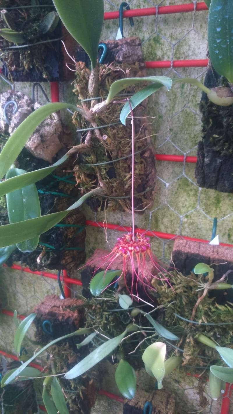 Bulbophyllum gracilimum Dsc_0722