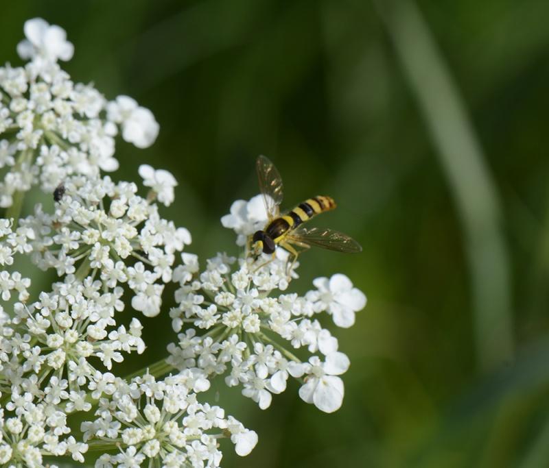 insecte rayé de jaune et noir Melisc11