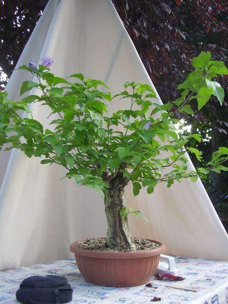 W.I.P. Hibiscus Syriacus scopa... a tronco cavo - Pagina 2 Appunt11