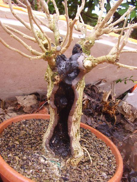 W.I.P. Hibiscus Syriacus scopa... a tronco cavo - Pagina 3 Appunt17