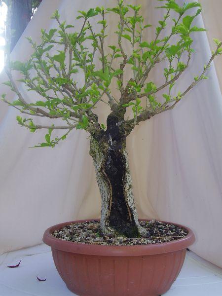 W.I.P. Hibiscus Syriacus scopa... a tronco cavo - Pagina 3 Appunt18