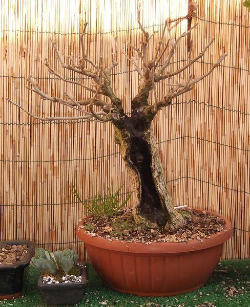 W.I.P. Hibiscus Syriacus scopa... a tronco cavo - Pagina 3 Appunt19