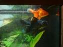 Caractéristiques de mon aquarium et de mes poissons P1040311