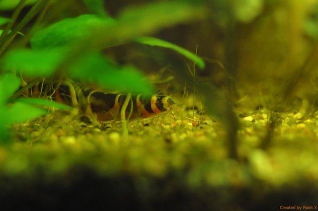 Cohabitation poissons et crevettes. Dsc_0421