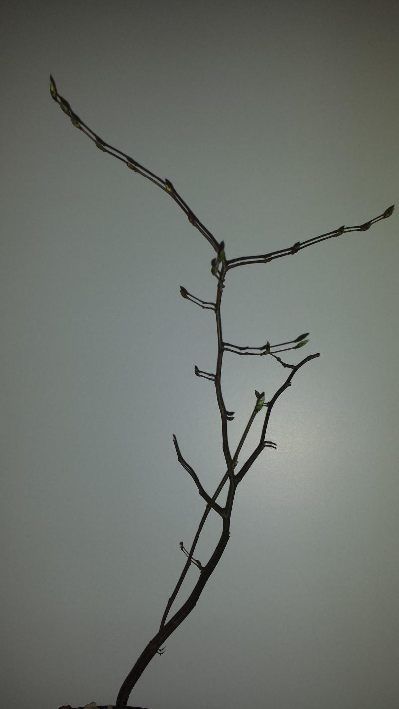 Carpino Bianco/Carpinus Betulus 20150211