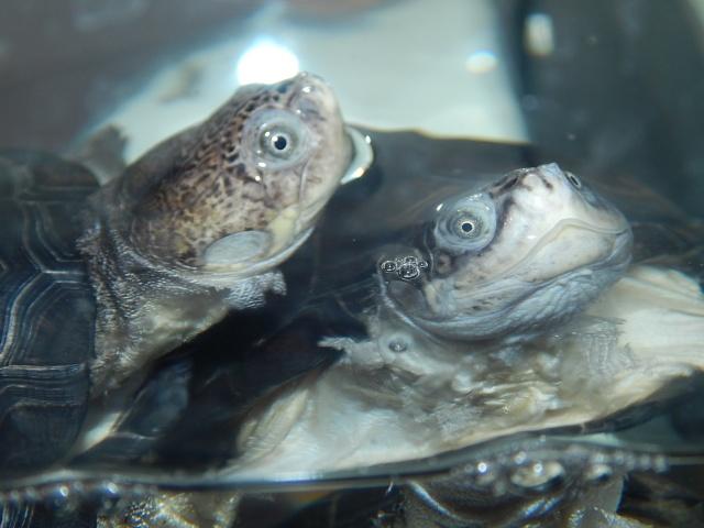 mes 2 petites  tortues - Page 2 Dscn4424