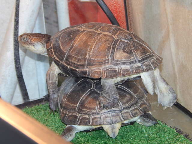 mes 2 petites  tortues - Page 2 Dscn4510