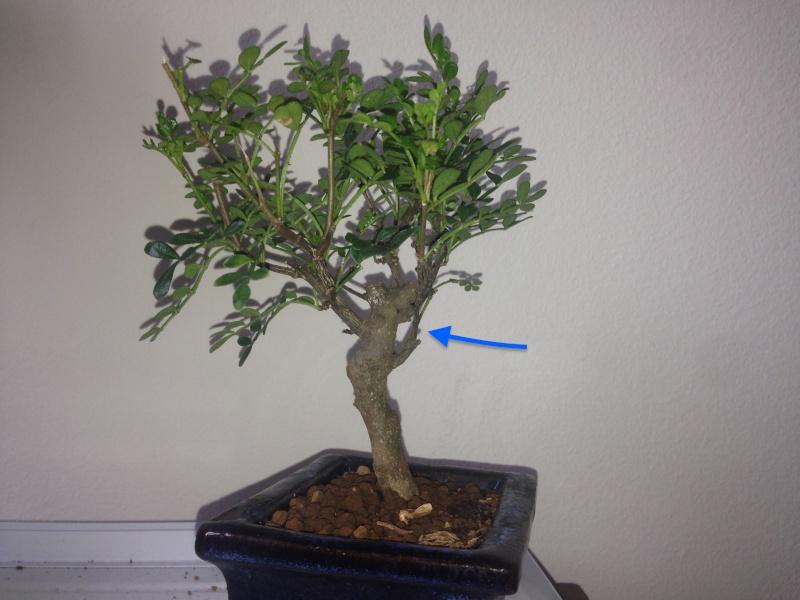 Bonsai pepper tree Modifi10