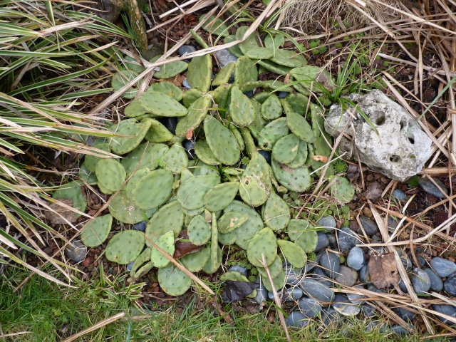 Opuntia humifusa (= Opuntia compressa) P1020619