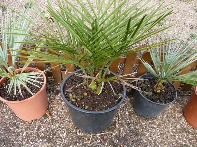 Croissance comparée de quelques palmiers P1020627