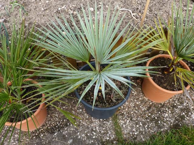 Croissance comparée de quelques palmiers P1020628
