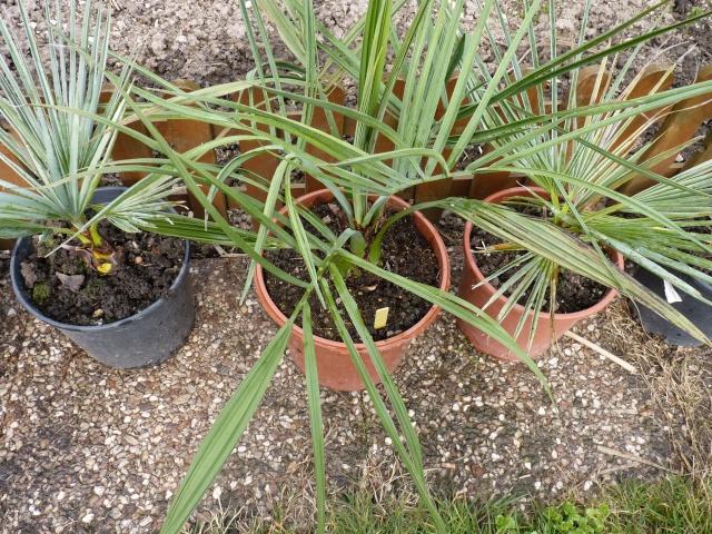 Croissance comparée de quelques palmiers P1020629