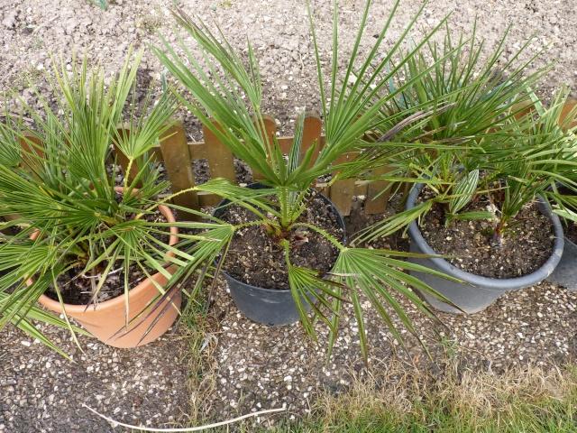 Croissance comparée de quelques palmiers P1020630