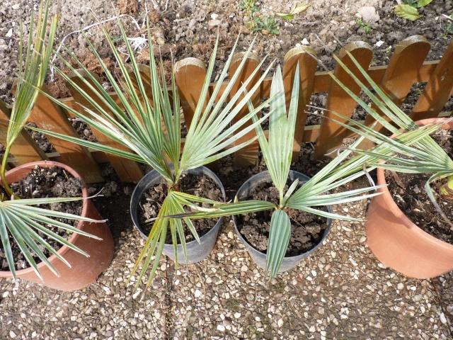 Croissance comparée de quelques palmiers P1020632