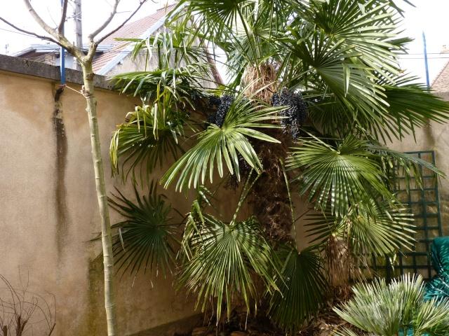 Croissance comparée de quelques palmiers P1020634