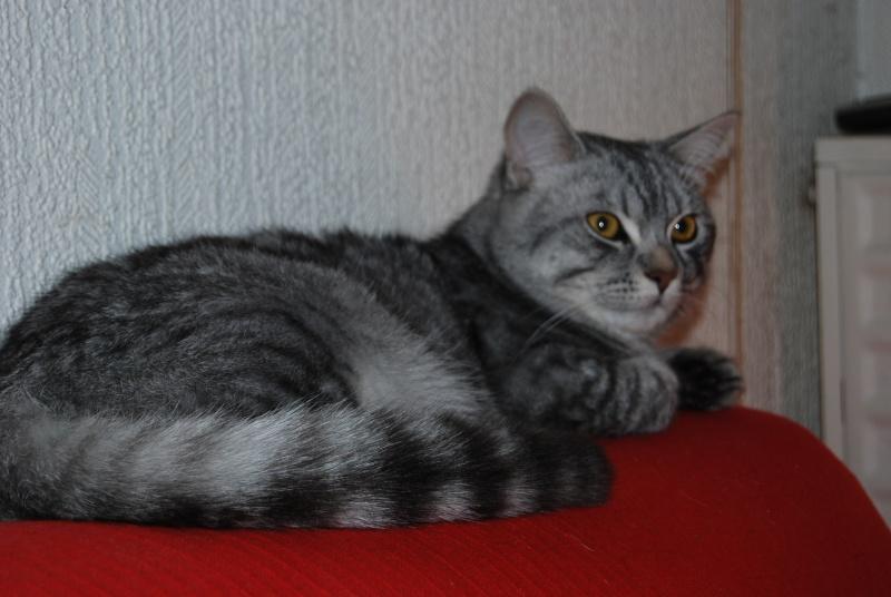 Jamy, mâle tigré gris né en Mai 2014 Dsc_0115