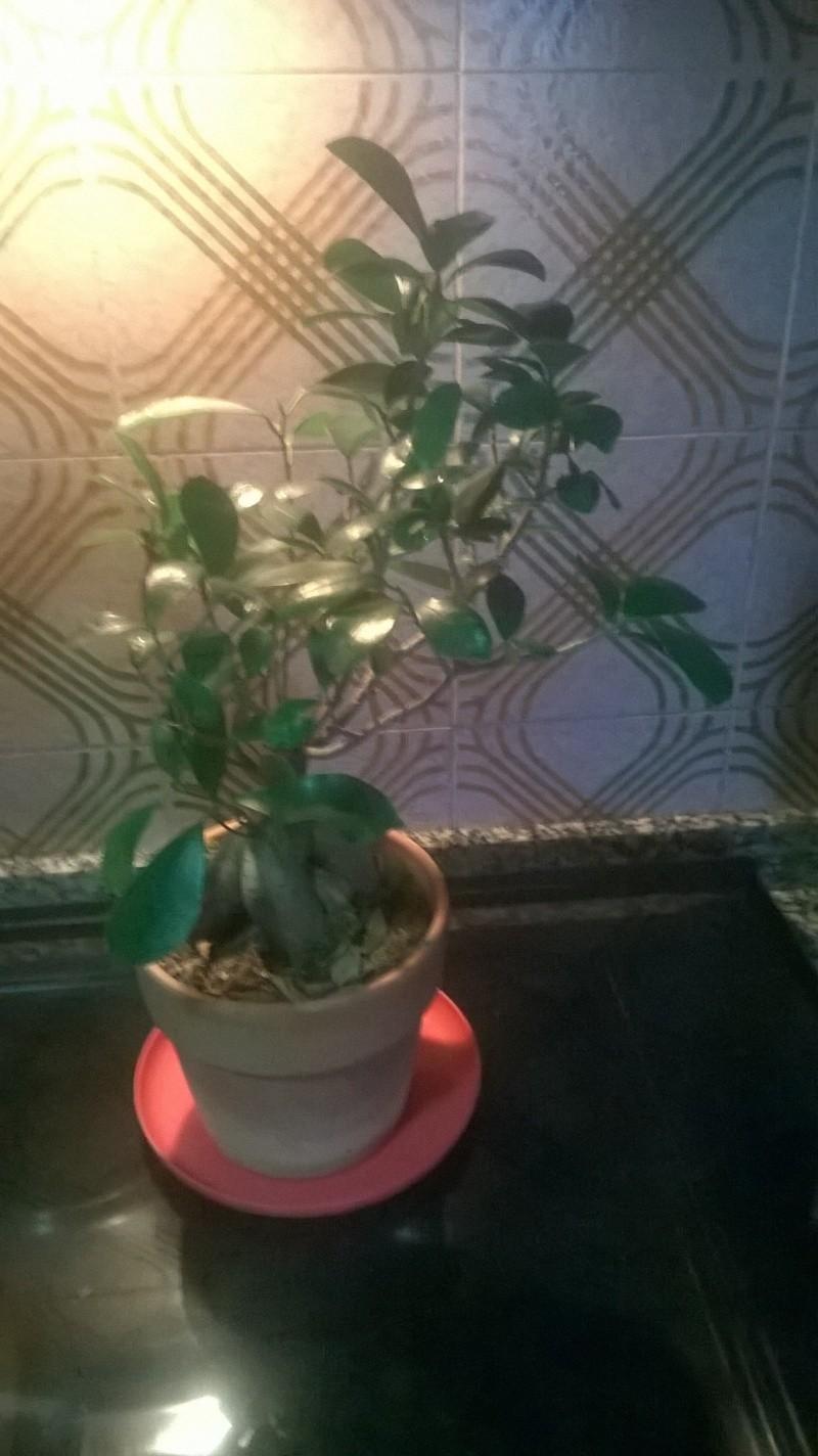 azalea e ficus ginseng Boxfil12