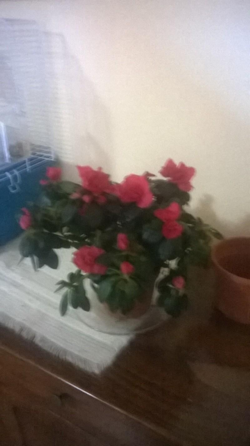 azalea e ficus ginseng Boxfil13