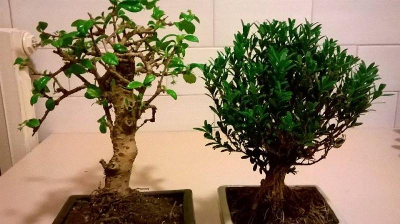 che bonsai sono ? Bonsai11