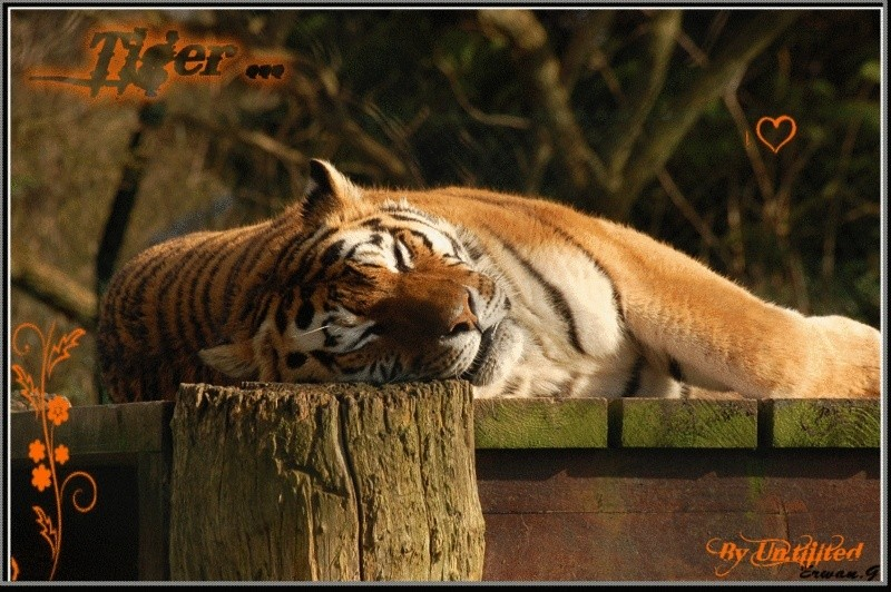 Mistyy  Tigre_12