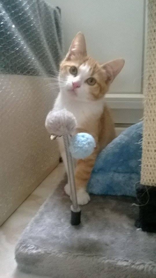 JARED, chaton roux et blanc, né le 27/10/14 10872211