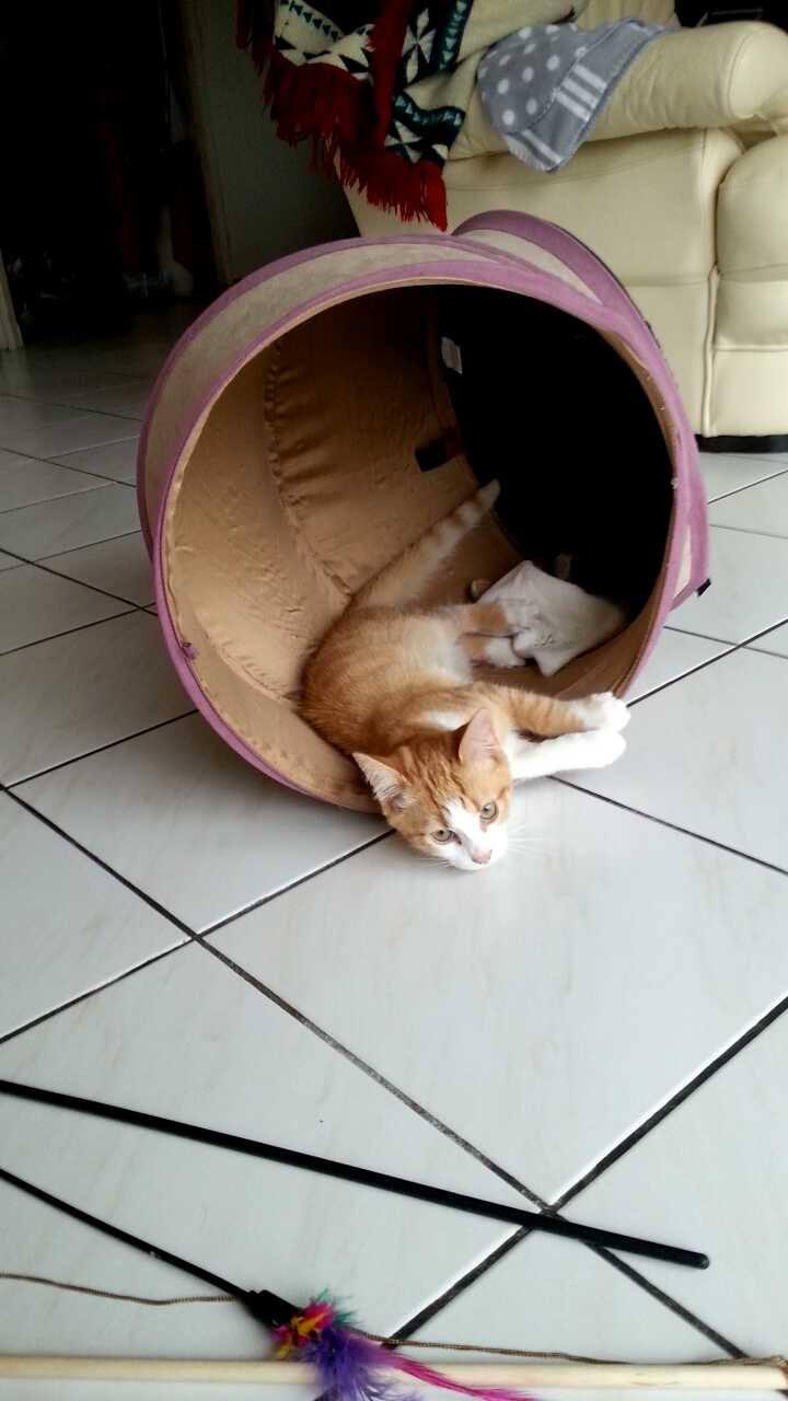 JARED, chaton roux et blanc, né le 27/10/14 11029610
