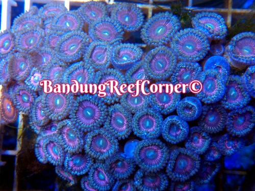 >> Zoanthus (Palythoas & Zoanthids) BRC© << Img-2013