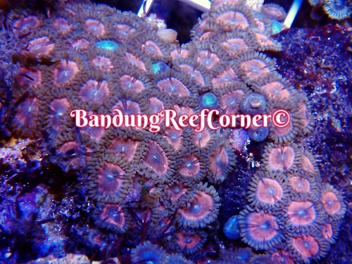 >> Zoanthus (Palythoas & Zoanthids) BRC© << Img-2014
