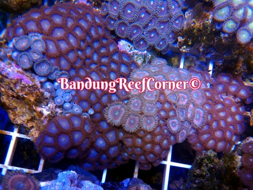 >> Zoanthus (Palythoas & Zoanthids) BRC© << Img-2020
