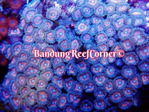 >> Zoanthus (Palythoas & Zoanthids) BRC© << Img-2021