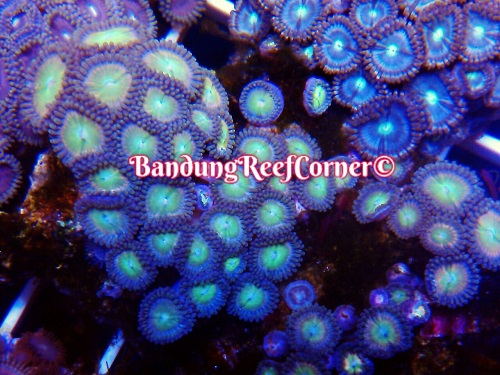 >> Zoanthus (Palythoas & Zoanthids) BRC© << Img-2022