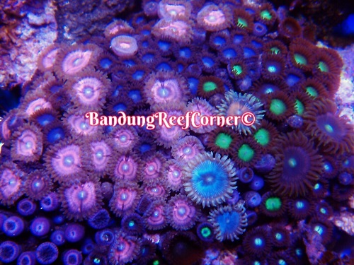 >> Zoanthus (Palythoas & Zoanthids) BRC© << Img-2023