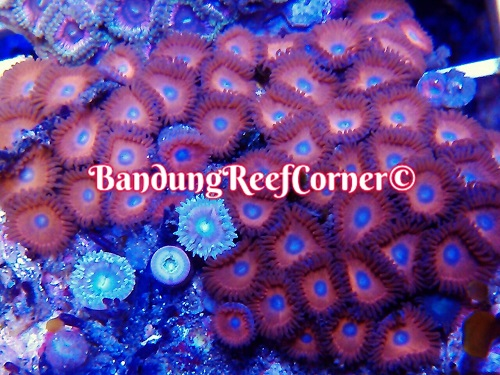 >> Zoanthus (Palythoas & Zoanthids) BRC© << Img-2024