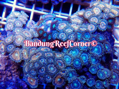 >> Zoanthus (Palythoas & Zoanthids) BRC© << Img-2025
