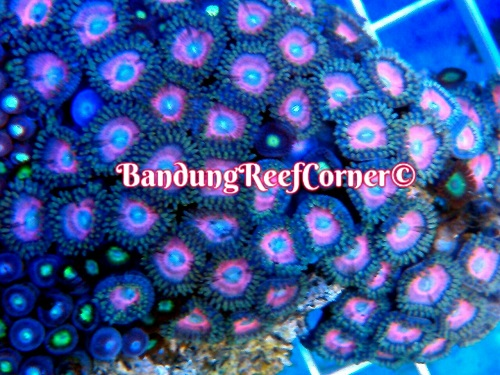>> Zoanthus (Palythoas & Zoanthids) BRC© << Img-2026