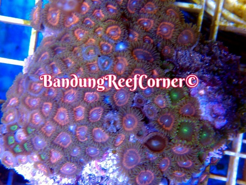>> Zoanthus (Palythoas & Zoanthids) BRC© << Img-2027