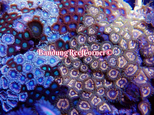 >> Zoanthus (Palythoas & Zoanthids) BRC© << Img-2028