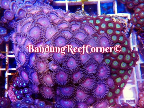 >> Zoanthus (Palythoas & Zoanthids) BRC© << Img-2030