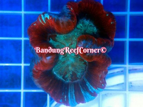 >> LPS Corals BRC© << Img-2038