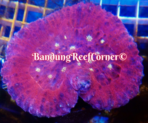 >> LPS Corals BRC© << Img-2039
