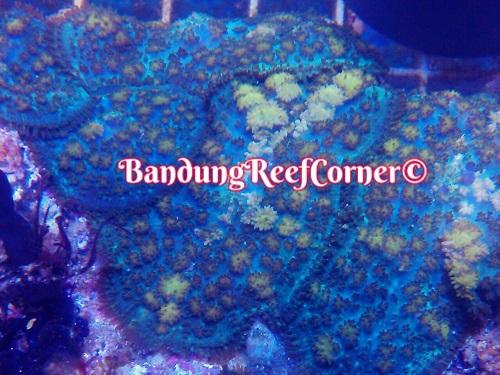 >> LPS Corals BRC© << Img-2040