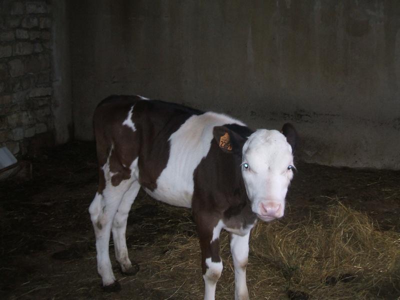L'élevage des vaches Dscf1110