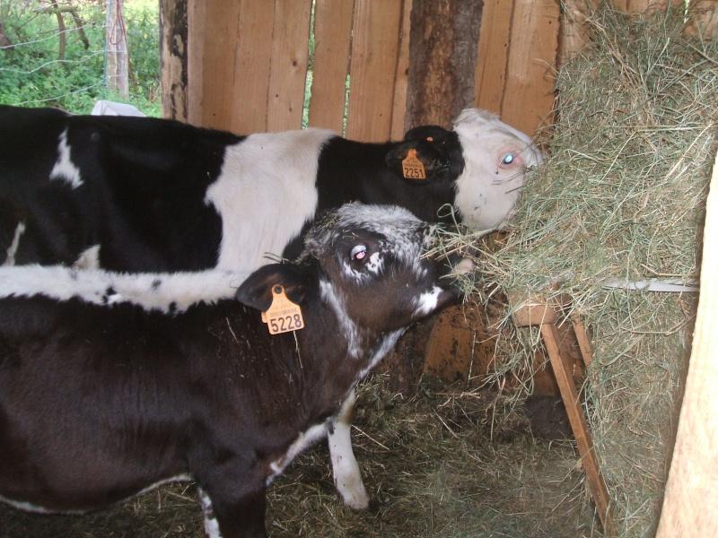 L'élevage des vaches Dscf1112
