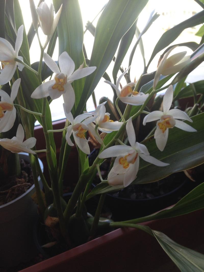 Münchner Orchideenausstellung! - Seite 2 Coelog16