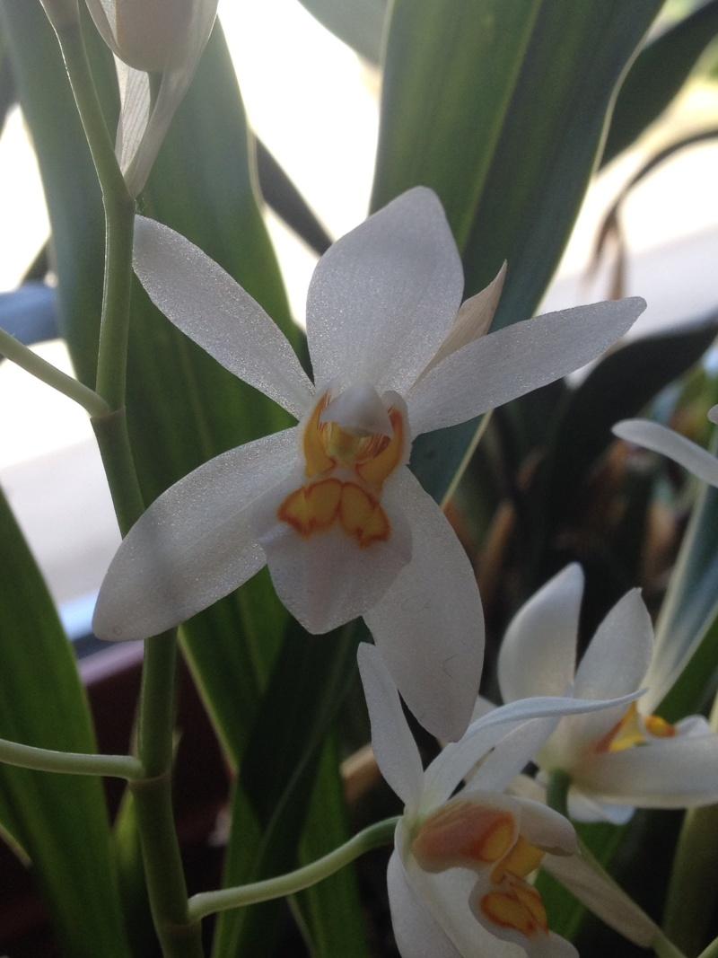 Münchner Orchideenausstellung! - Seite 2 Coelog17
