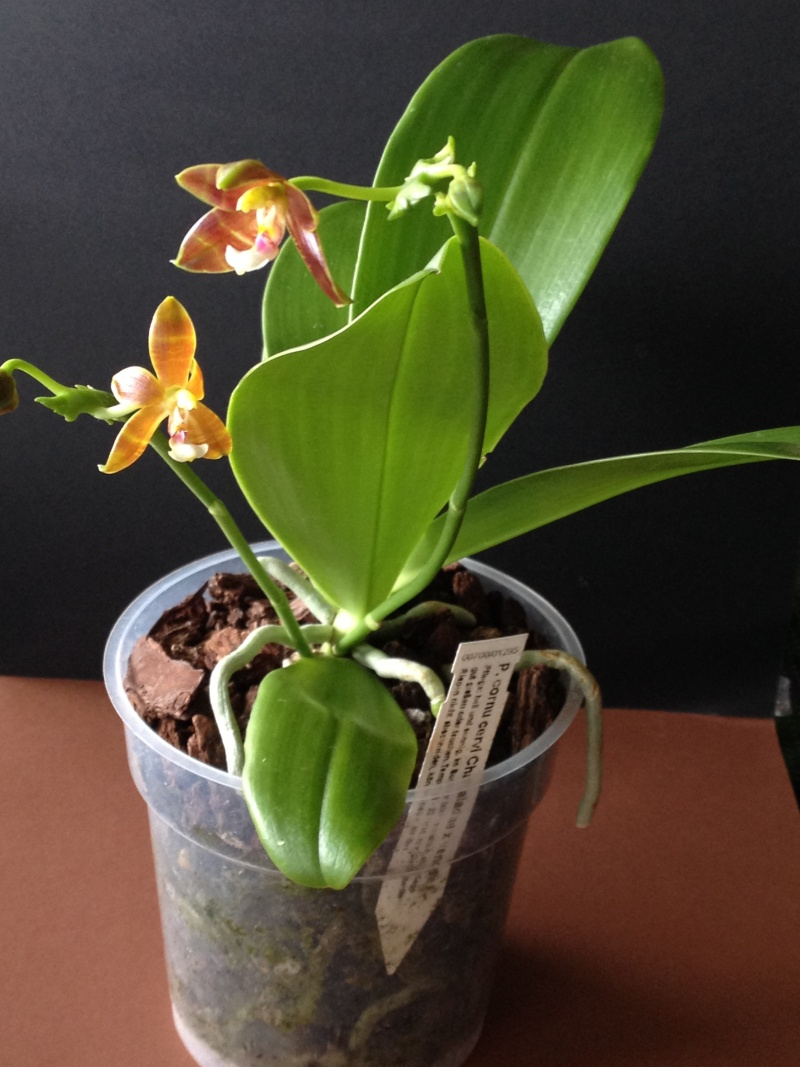 Phalaenopsis cornu cervi Chattaladae x venosa (Eiderstedt) Eiders10