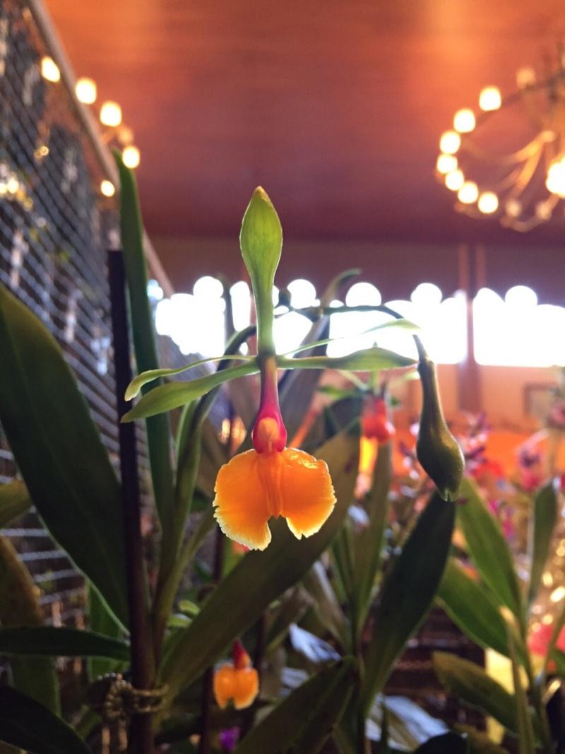 Münchner Orchideenausstellung! - Seite 2 Epiden11