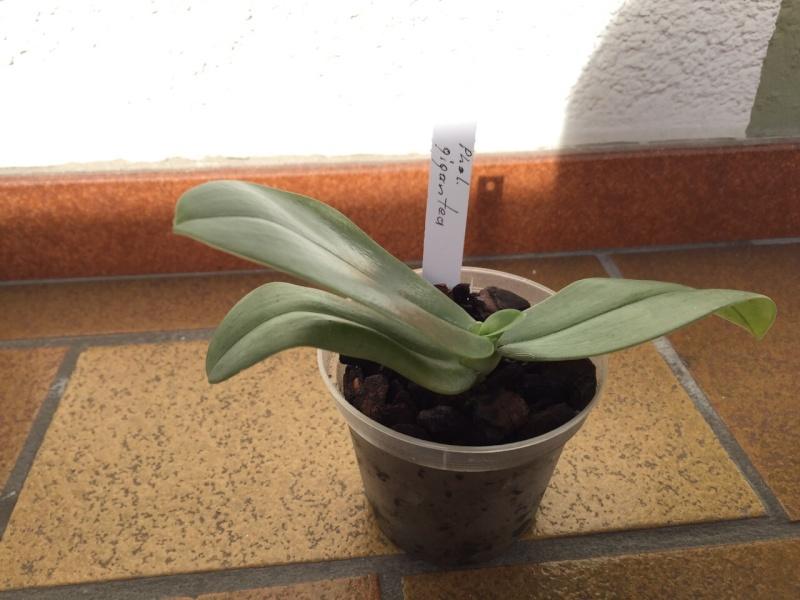 Münchner Orchideenausstellung! - Seite 2 Gigant11