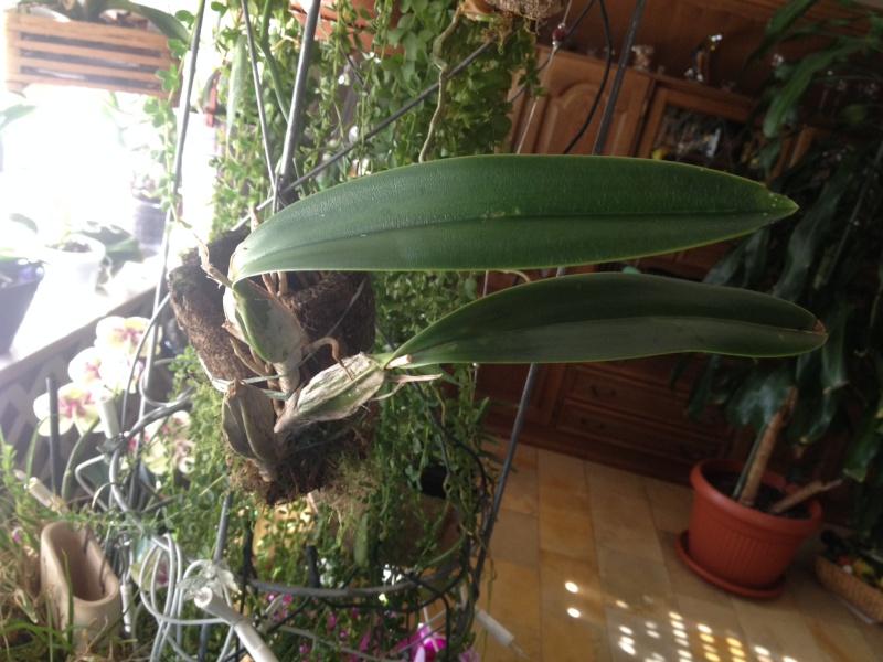 Münchner Orchideenausstellung! - Seite 2 Laelia11